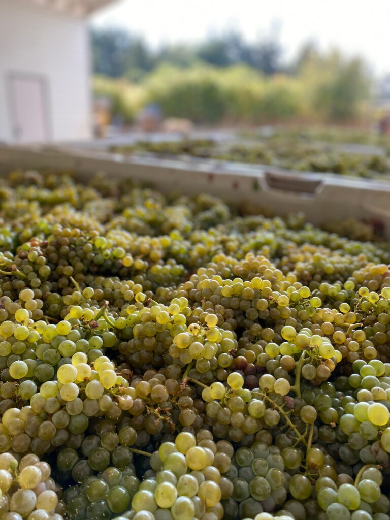 Freshly harvested 2020 Sauvignon Blanc resting on the crush pad at Sweet Cheeks Winery just minutes before getting pressed